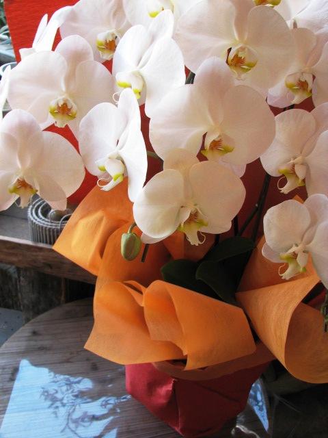 胡蝶蘭 お祝い 贈物