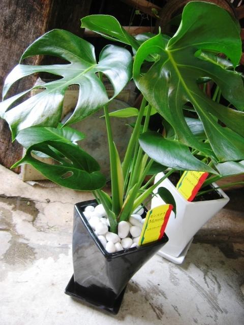 モンステラ 観葉植物 新築祝い