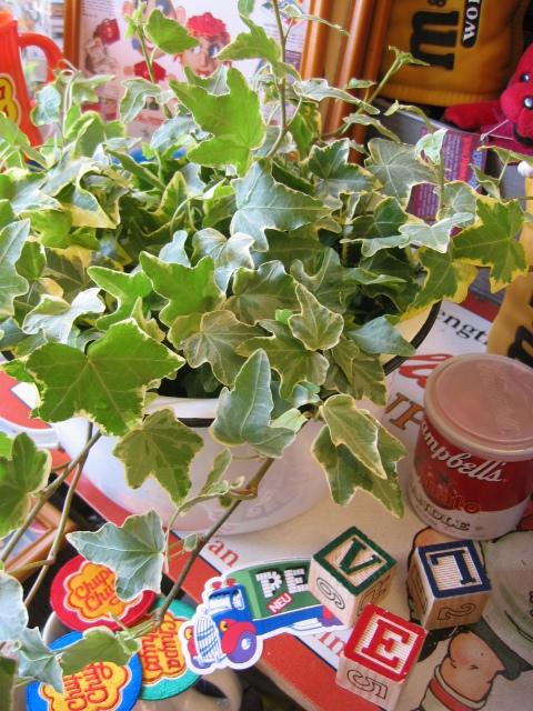 アイビー 観葉植物 誕生日プレゼント