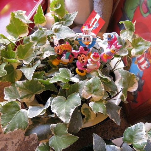 アイビー 鉢植え