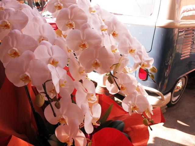 お祝い 胡蝶蘭